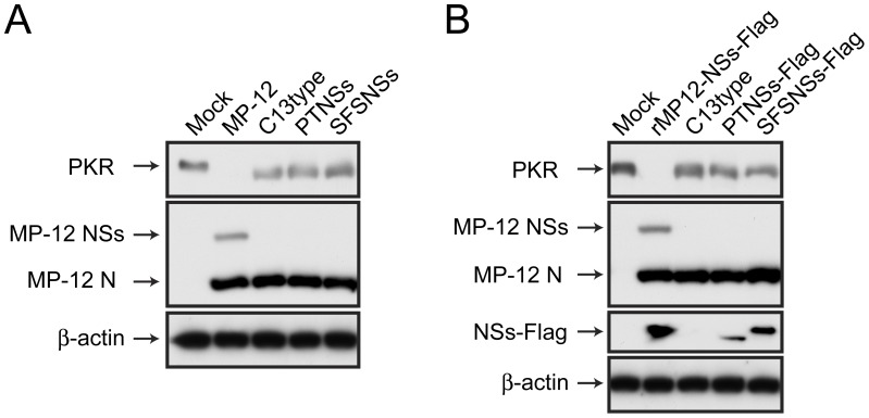 Degradation of PKR in VeroE6 cells infected with rMP12-PTNSs or rMP12-SFSNSs. (A) VeroE6 cells were mock-infected or infected with MP-12, rMP12-C13type, rMP12-PTNSs or rMP12-SFSNSs at a m.o.i of 3, and cells were collected at 16 hpi. Western blot was performed with anti-PKR, anti-RVFV and anti-β-actin antibodies. (B) VeroE6 cells were mock-infected or infected with rMP12-NSs-Flag [32] , rMP12-C13type, rMP12-PTNSs-Flag or rMP12-SFSNSs-Flag at a m.o.i of 3, and Western blot was performed as described above. Anti-Flag antibody was used for the detection of NSs-Flag. Representative data from three independent experiments are shown.