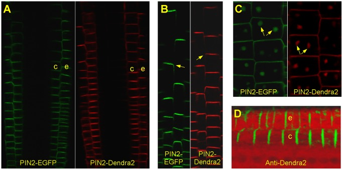 Localization pattern of PIN2-Dendra2 fusion protein. The roots of PIN2-Dendra2 were photoconverted before imaging. ( A ) PIN2-Dendra2 when driven by the endogenous promoter is expressed in the root tip epidermis (e) and cortex (c) identically to PIN2-EGFP that was described previously [48] . ( B ) In both PIN2-Dendra2 and PIN2-EGFP transgenic lines, the fusion proteins localized polarly in shootwards transversal membranes (arrows). ( C ) PIN2-Dendra2 similarly to PIN2-EGFP accumulates in BFA bodies (arrows). ( D ) Expression and localization pattern of PIN2-Dendra2 was confirmed by immunohistochemistry using an anti-Dendra2 antibody (green) on chemically fixed and sectioned roots. Sections were counterstained by propidium iodide (red).