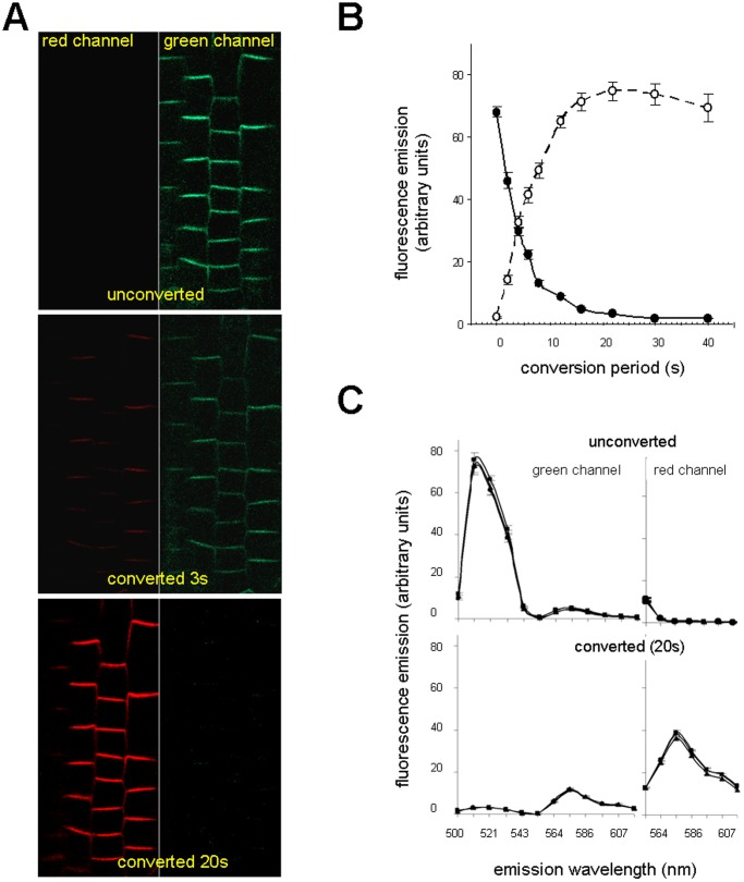 Time-dependent photoconversion of PIN2-Dendra2 fusion protein. ( A ) The same root was analyzed for green and red fluorescence before (time 0) and after 3 s and 20 s conversion. ( B ) Efficiency of photoconversion depends on the time of illumination with blue-violet light. Green and red fluorescence signals were collected and the intensities of 150 transversal membranes within 5 roots were assessed with the ImageJ software. The interrupted line with open circles represents changes in red signal intensities, the solid line with closed circles represents decreasing in green signal intensities, bars represent SE. ( C ) Emission spectra of green and red signals of unconverted and photoconverted membranes were analyzed in three roots (represented by three lines in the graph). The HFT UV/488/543/633 was used as a beam splitter. Each point on the graph with SE bar represents the mean of 30 transversal membranes.