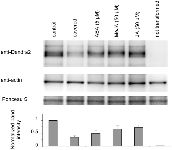 Western blot analysis of PIN2-Dendra2 expression. For Western blot analysis seedlings were grown and treated as described for microscopy and roots were collected after 12 h' treatment for protein extraction. The lane marked as 'covered' represents extracts from seedlings whose roots grew for 12 h under anaerobic conditions under the cover slip. Control (untreated) samples, samples of untransformed seedlings and samples treated with ABA and jasmonates (MeJA and JA) were kept uncovered during the experiment. The blot was probed by a Dendra2 specific antibody (upper row), stripped and re-probed with an actin specific antibody (middle row). The lower row shows the membrane after Ponceau S staining. Bands intensities were quantified using ImageJ. The values obtained for Dendra2 were divided by the values for actin for that sample, normalized to the control and graphed. Columns in the graph represent the means of three blots, bars represent SD.