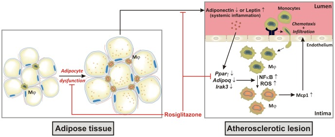 Adiponectin and macrophage-associated Irak3 are indispensable molecules in the anti-atherosclerotic properties of PPAR agonists. The schematic draw demonstrates the anti-atherosclerotic properties of the PPARγ agonist rosiglitazone. Treatment with rosiglitazone improves the adipocyte function characterized by a decrease in adipocyte size, a reduction in adipose tissue macrophages and an increased expression of anti-inflammatory adiponectin. The increase in blood adiponectin and de novo adiponectin production in atherosclerotic lesions is necessary for the upregulation of Irak3 in plaque macrophages, which is crucial for the indirect rosiglitazone-mediated decrease in Mcp1 secretion. Abbreviations: Mφ, macrophages; ROS, reactive oxygen species.