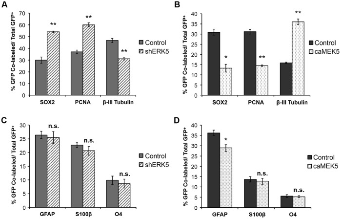 ERK5 signaling regulates neurogenesis of SVZ-derived aNPCs in culture. (A) ERK5 signaling is necessary for promoting spontaneous neurogenesis. aNPCs were infected with non-specific shRNA control retroviral vector (shNS) or shRNA to ERK5 retrovirus (shERK5). Both retroviral vectors encode an eGFP marker protein under a bicistronic promoter [26] . One day after virus infection, cells were incubated in <t>EGF</t> and <t>bFGF-free</t> medium for 5 d to allow spontaneous differentiation. The percentage of GFP + cells that were also SOX2 + , PCNA + , or β-III Tubulin + was quantified. (B) Activation of endogenous ERK5 signaling is sufficient to promote neurogenesis. aNPCs were infected with control retroviral vector expressing eGFP only or expressing caMEK5-IRES-eGFP. One day after virus infection, cells were washed and then placed in fresh regular medium containing mitogenic EGF and bFGF for 5 d. (C) ERK5 knockdown does not affect glial differentiation. GFAP, a marker for astrocytes as well as SVZ stem cells; S100β, a marker for astrocytes; O4, an oligodendrocyte marker. (D) Effect of ERK5 activation on cells expressing GFAP, S100β, and O4. Over 200 virus-infected cells (GFP + ) from each sample were analyzed and quantified. Data are mean ± SEM from three independent experiments (n = 3). *, p