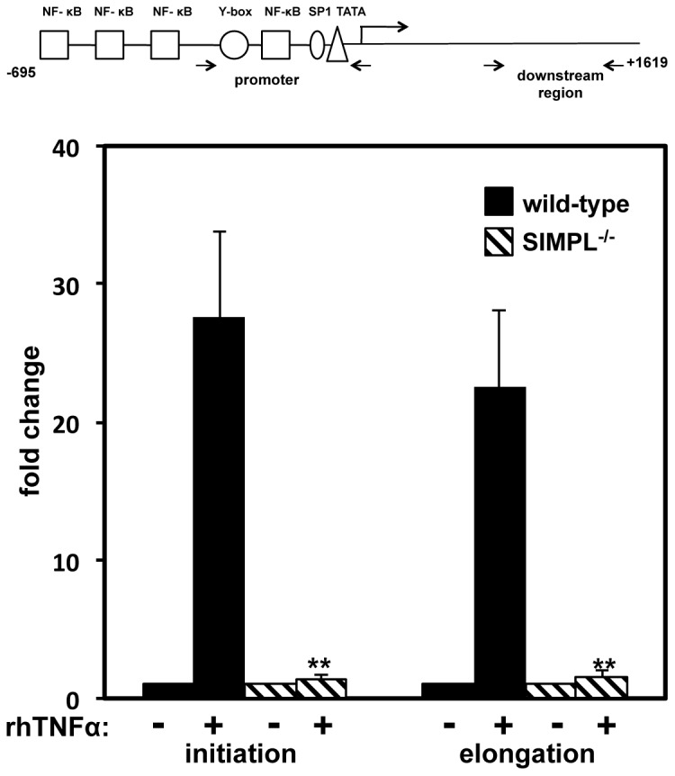 TNFα induces re-localization of SIMPL to the Tnf gene promoter. ( A ) Schematic of the mouse Tnf gene indicating location of PCR primers. ( B ) WT MEFs transfected with FLAG-SIMPL or empty FLAG-vector (Flag) and were left untreated (-) or were treated with rhTNFα (10 ng/ml; 45 min). Immunocomplexing assays performed with either Flag or p65 antibody were subjected to Western analysis with SIMPL antibody to confirm the TNFα-dependence of the p65-SIMPL interaction. LC-light chain. ( C ) WT MEFs were transfected with the indicated plasmids; 72 h post-transfection, chromatin immunoprecipitation (ChIP) assays were performed as described under Materials and Methods with the indicated antibodies and primer sets specific for the mouse Tnf gene (see Panel A for primer location; Materials and Methods for primer sequence). ChIP assays and corresponding quantitative real-time PCR assays were repeated at least three times.