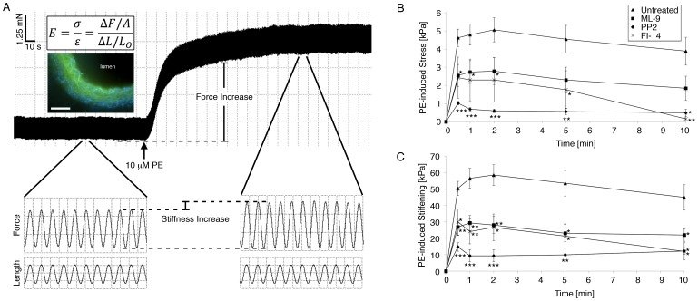 Aortic tissue stiffening during contractile stimulation is decreased by inhibition of Src, FAK, or MLCK. (A) Tissue stiffness E measured in vitro during PE-induced contraction at optimum length L O with small-amplitude (1%), high frequency (40Hz) sinusoidal stretches Δ L . Box height and width for magnified traces: 0.5 mN, 5 µm, and 0.02 s. Upper Inset : Stiffness calculation. Lower Inset : Fluorescent micrograph of aortic ring in cross-section, used to determine ring thickness for calculation of cross-sectional area A . Green: autofluorescent elastic laminae. Blue: cell nuclei. Scale bar, 100 µm. (B) PE-induced stress is significantly lower when pre-treated with MLCK inhibitor ML-9, confirming the importance of myosin activation and contraction to vascular stiffness (n = 4). PE-induced stress is also significantly reduced when pre-treated with Src inhibitor PP2 and FAK inhibitor 14. (C) PE-induced stiffening is significantly reduced when pre-treated with MLCK inhibitor ML-9, confirming the importance of myosin activation to aortic stiffness. Stiffening is also significantly lower when pre-treated with Src inhibitor PP2 and FAK inhibitor 14, indicating a role for Src, FAK, and FA proteins in aortic stiffness. n = 10 untreated, 6 ML-9, 4 PP2, 5 FI-14 rings. *p