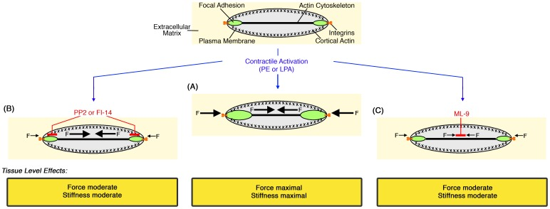 Model. (A) Tension-induced, Src- and FAK-mediated growth and remodeling of dynamic focal adhesions in aortic VSMCs leads to cell-matrix adhesion strengthening (cortical stiffening) in response to contractile stimulus. This strengthening is required for adequate force and stiffness transmission from the VSMC to the blood vessel wall. (B) Inhibition of Src with PP2 or FAK with FI-14 inhibits FA dynamics and growth, preventing reinforcement of the cell-matrix linkage. As a result, forces and stiffness generated by the activated VSMC cannot propagate efficiently to the tissue. (C) Inhibition of MLCK with ML-9 reduces contractile force and, as a result, lessens reinforcement of the cell-matrix linkage. Consequently, force and stiffness development in the aortic wall are reduced.