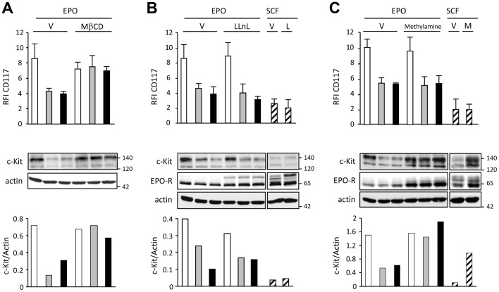 Imatinib or masitinib induces c-Kit internalization and its degradation by lysosome pathway. A. For analysis of internalization, UT-7/Epo cells were pre-incubated with 50 µM of methyl-β-cyclodextrine (MβCD) or vehicle (V) for 30 min then treated during 4 hours with imatinib (grey bars) or masitinib (black bars) or Epo alone (white bars). B. For the analysis of proteasomal degradation, UT-7/Epo cells were incubated with 1 UI/ml of Epo or 50 ng/ml of SCF (hatched bars), and 50 µM of LLnL (L) or vehicle (V) for 20 min at 37°C before treatment with 2 µM IM (grey bars) or MA (black bars) or Epo alone (white bars) for 4 h. C. For the analysis of lysosomal degradation, UT-7/Epo cells were incubated with 1 UI/ml Epo or 50 ng/ml SCF, and 100 µM methylamine (M) or vehicle (V) for 20 min before treatment with 2 µM IM (grey bars) or MA (black bars) or Epo alone (white bars) for 4 h. Expression of c-Kit by flow cytometry (cell surface) and by immunoblot. Actin was used as loading control. Data are representative of three independent experiments and the quantification of one experiment is shown.
