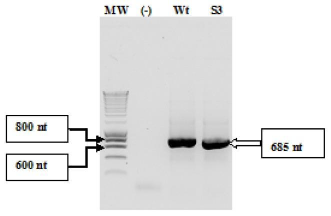 """Agarose gel electrophoresis of PCR products amplified from <t>pUC19/IRES</t> DNAs using (T7/IRES-AUG) primers (as previously described in the """"Experimental Section""""). Lane MW: Smart DNA ladder 200 lanes (Eurogentec); lane (-): a negative control for the PCR reaction; lane (Wt): CVB3 wild-type IRES; lane (S3): CVB3 Sabin3-like IRES."""