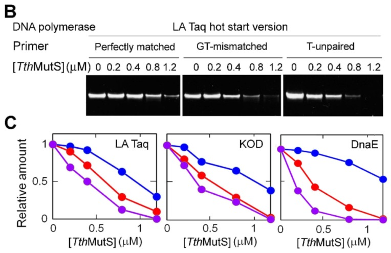 Effects of Tth MutS on standard polymerase chain reaction (PCR) amplification of an 80-bp template. ( A ) Schema tic representation of the primers and templates used in ( B , C ). Perfectly matched, GT-mismatched or unpaired T-containing primers were used; ( B ) Perfectly matched (left), GT-mismatched (middle) or unpaired T-containing (right) primers were used to amplify the perfectly matched template; ( C ) The relative amounts of the products from perfectly matched (blue), GT-mismatched (red) or unpaired T-containing (purple) primers were plotted against the Tth MutS concentration for reactions using three polymerases: LA <t>Taq</t> (left), KOD polymerase (middle) and A. aeolicus DnaE (right). The amounts of the products were normalized by those at 0 μM Tth MutS.