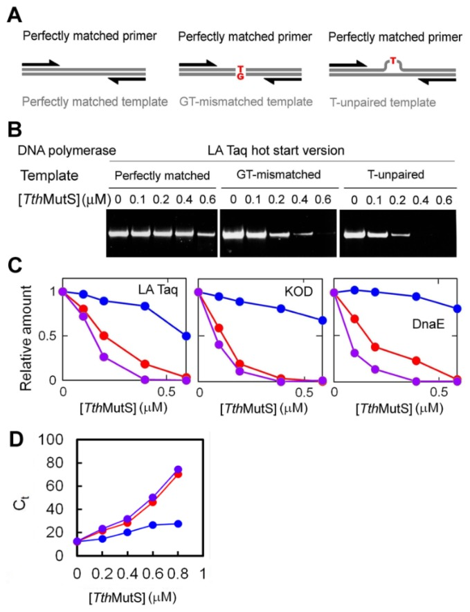 Effects of Tth MutS on standard PCR amplification of mismatched templates. ( A ) Schematic representations of the primers and templates used in ( B , C ); ( B ) A perfectly matched primer was used to amplify perfectly matched (left), GT-mismatched (middle) or unpaired T-containing (right) templates; ( C ) Relative amounts of amplified fragments from reactions using perfectly matched (blue), GT-mismatched (red) or unpaired T-containing (purple) templates were plotted against the Tth MutS concentration. The amounts of the products were normalized by those at 0 μM Tth MutS; ( D ) The effect of Tth MutS on amplification of the 80-bp mismatched template was examined by real-time PCR. The perfectly matched (blue), GT-mismatched (red) and unpaired T-containing (purple) templates were amplified by AmpliTaq Gold DNA polymerase by using perfectly matched primers. The threshold cycle ( C t ) was determined and plotted against the Tth MutS concentration. Experiments were repeated three times. Bars indicate standard deviations.