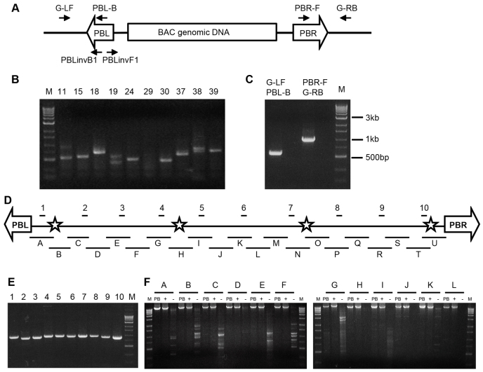 Molecular analysis of PB[BAC] insertions in human 293 cells. (A–F) Inverse PCR with primers PBLinvB1 and PBLinvF1 (A) recovered single insertions in most of the clones (B). The insertion sites were confirmed by genotyping PCR using pairs of primers targeting both flanking genomic sequences (G-RL or G-RB) and PB terminal sequences (PBL-B or PBR-F), as shown in panel C. Integrity of PB[BAC] transgenes was analyzed by PCR using ten primer pairs evenly spaced along the BAC insert (fragments 1–10 in panel D). Two clones showed all positive results (E) and were further examined by long-range PCR using 21 pairs of overlapping primers covering the full length (fragments A–U in panel D), as shown in panel F and supplementary material Fig. S2 . M, 1 kb ladder; +, positive control with PB[BAC] as the template, −, negative control with 293 genomic DNA as the template; stars mark location of SNPs used to verify BAC integrity in transgenic mice.