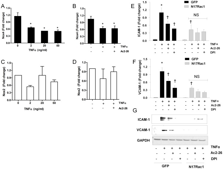 The stimulatory effect of tumour necrosis factor (TNFα) on adhesion molecule gene upregulation requires Rac1 in HMECs. (A) TNFα (2–50 ng/ml) reduced Nox4 gene expression (B) and pretreatment of Ac2-26 (0.5 µM) did not affect the TNFα mediated mRNA downregulation. TNFα (2–50 ng/ml) alone (C) and in combination of Ac2-26 (0.5 µM) (D) did not affect Nox2 mRNA expression. TNFα (20 ng/ml) stimulated ICAM-1 mRNA (E) and protein (G) and VCAM-1 mRNA (F) and protein (G) upregulation was blunted by Ac2-26 (0.5 µM) and diphenyleneiodonium (DPI, 1 µM) in cells trasnfected with control GFP plasmid. Dominant negative Rac1 (N17Rac1) reduced TNFα-mediated ICAM-1 and VCAM-1 upregulation and this inhibition was not potentiated by pretreatment of Ac2-26 and DPI. mRNA expression was normalized to control with TNFα stimulation in cells transfected with GFP. GAPDH was used to confirm equal loading. Data are mean ± SEM, n = 5 to 8. * P