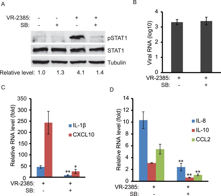 PRRSV infection of PAM cells leads to elevation of pSTAT1-S727. A. Elevation of pSTAT1-S727 in VR-2385-infected PAM cells detected by Western blotting. The cells were infected with VR-2385 and treated with SB203580. Mock-infected and mock-treated cells were included as controls. The blotting was done with antibodies against pSTAT1-S727, STAT1 and tubulin. Relative levels of pSTAT1-S727 compared to the mock-treated control are shown as folds below the images. B. PRRSV viral RNA copies in PAMs detected by RT-qPCR and shown as log10 per 10 ng total RNA. C D. Increased expression of IL-1β, CXCL10, IL-8, IL-10, and CCL2 in PRRSV-infected PAMs detected by RT-qPCR. The cells were infected with VR-2385 and treated with SB203580. Relative levels of gene expression are shown as folds in comparison with the mock-treated PRRSV-negative cells.
