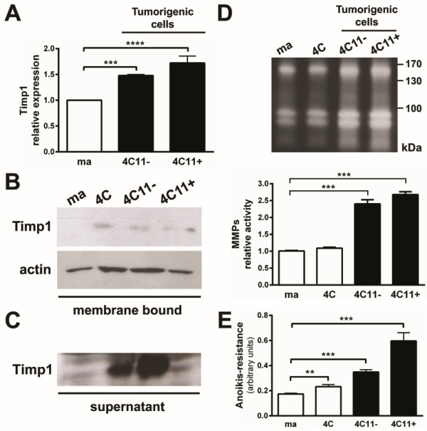 Increased association of Timp1 on the cell surface along melanoma progression. A. mRNA levels of Timp1 were determined by real time PCR. B. Membrane-enriched extracts were separated on 15% polyacrylamide gel SDS/PAGE and transferred to a PVDF membrane. The membrane was incubated with polyclonal antibody specific to Timp1. The constitutive expression of β-actin was used as endogenous control. C. The supernatants of cell cultures were collected and lyophilized. The presence of soluble Timp1 was identified by Western Blotting. D. Conditioned media (10 μg) from melan-a, 4C, 4C11- and 4C11+ cell lines were evaluated for MMPs activity. E. The same cell lines were maintained in suspension for 96 hours and viable cells were estimated using MTT. Experiments were always performed in quadruplicates. ma: murine non-tumorigenic melanocyte lineage; 4C: pre-malignant melanocytes; 4C11-: non-metastatic melanoma cells; 4C11+: metastatic melanoma cells. **p