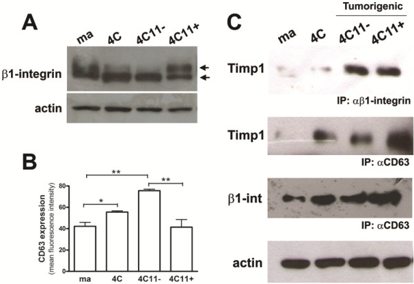 A tight Timp1/CD63/β1-integrin complex is formed only in tumorigenic cell lines. A. β1-integrin expression pattern was analyzed in murine melan-a, 4C, 4C11- and 4C11+ cell lines by Western blotting using a specific polyclonal antibody. Note the shift of β1-integrin eletrophoretic migration in the metastatic 4C11+ melanoma cell line. The same membrane was reprobed with anti-actin antibody as an endogenous control. B. CD63 protein expression was evaluated by flow cytometry using antibody specific. C. Membrane-enriched protein extracts from melan-a, 4C, 4C11-, and 4C11+ cell lines were immunoprecipitated with anti-CD63 and anti-β1-integrin and analyzed by Western blotting with anti-Timp1 and anti-β1-integrin. ma: non-tumorigenic melanocytes melan-a; 4C: pre-malignant melanocytes; 4C11-: non-metastatic melanoma cells; 4C11+: metastatic melanoma cells. *p