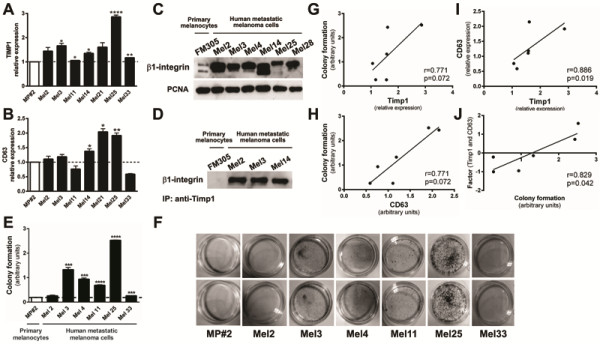 Increased levels of <t>TIMP1,</t> CD63 and β1-integrins in melanoma cells compared to primary melanocytes and association between Timp1 and β1- integrins only in human metastatic melanoma cells. mRNA levels of TIMP1 and CD63 were measured by real time PCR ( A and B , respectively). C. β1-integrin expression was analyzed in primary human melanocytes MP#2 and human metastatic melanoma cell lines (Mel2, Mel3, Mel4, Mel14, Mel25 and Mel28) by Western blotting using a specific <t>polyclonal</t> antibody. The same membrane was reprobed with anti-PCNA antibody as an internal control. D. Membrane-enriched protein extracts from MP#2, Mel2, Mel3 and Mel14 cell lines were immunoprecipitated with anti-TIMP1 and analyzed by Western blotting with anti-β1-integrin. E and F. Primary human MP#2 melanocytes and human metastatic melanomas Mel2, Mel3, Mel4, Mel11, Mel25, Mel28 and Mel33 (2x10 2 ) were incubated at 37°C on 60 mm plates and colony formation capacity was determined after 5 days. Spearman's correlation (r) was used to correlate TIMP1 and clonogenic capacity ( G ), CD63 expression and clonogenic capacity ( H ), TIMP1 and CD63 expression ( I ), and combined TIMP1 and CD63 expression and clonogenic capacity ( J ). All analyses were performed using SPSS (v 18, Chicago, IL, USA). The significance level was set at 0.05.