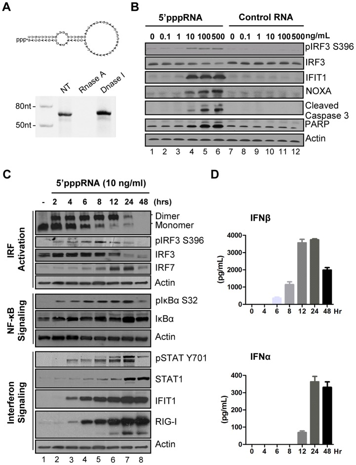 5′pppRNA stimulates an antiviral and inflammatory response in lung epithelial A549 cells. ( A ) Schematic representation of VSV-derived 5′pppRNA and gel analysis. The 5′ppp-containing 67-mer RNA oligonucleotide is derived from the untranslated regions (UTRs) of VSV and the product of  in vitro  transcription runs as a single product degraded by RNase I. ( B ) 5′pppRNA or a homologous control RNA lacking a 5′-triphosphate end was mixed with Lipofectamine RNAiMax and transfected at different RNA concentrations (0.1–500 ng/ml) into A549 cells. At 8 h post treatment, whole cell extracts (WCEs) were prepared, resolved by SDS-page and analyzed by immunoblotting for IRF3 pSer396, IRF3, ISG56, NOXA, cleaved caspase 3, PARP and β-actin. Results are from a representative experiment; all immunoblots are from the same samples. ( C ) A549 cells were transfected with 10 ng/ml 5′pppRNA and WCEs were prepared at different times after transfection (0–48 h), subjected to SDS-PAGE and probed with antibodies for IRF3 pSer-396, IRF3, IRF7, STAT1 pTyr-701, STAT1, ISG56, RIG-I, IκBα pSer-32, IkBα and β-actin; all immunoblots are from the same samples. To detect IRF3 dimerization, WCEs were resolved by native-PAGE and analyzed by immunoblotting for IRF3. ( D ) ELISA was performed on cell culture supernatants to quantify the release of IFNβ and IFNα over time. Error bars represent SEM from two independent samples.