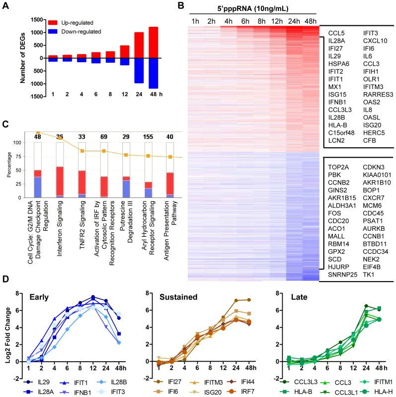 Transcriptome analysis of the host antiviral response to 5′pppRNA. A549 cells were transfected with 10 ng/ml of 5′pppRNA using Lipofectamine RNAiMax for designated periods of time. Samples were analyzed by Illumina gene expression array and DEG were identified based on fold change ≥±2 and p -value ≤0.001 ( A ) Number of up-regulated and down-regulated DEG at each time point. ( B ) Heatmap of all DEG sorted by fold change; top 30 genes are listed. Red, Up-regulated; blue, down-regulated. ( C ) Functional characterization of DEGs following 5′pppRNA treatment based on Ingenuity Pathway Analysis software. Bar height refers to the number of DEG in each pathway and the color refers to the contribution from up-regulated or down-regulated genes. ( D ) Genes among the top up-regulated genes were selected based on three different expression patterns: early, sustained, late.