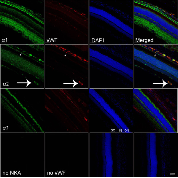 Representative immunofluorescence images of <t>Na,K-ATPase</t> <t>alpha-1,</t> -2, and −3 expression at the rat retina. Na,K-ATPase isoforms labeled with fluorescein in the left hand column images, vWF visualized with Texas red in the second column, nuclei are DAPI-labeled, and the merged image for each horizontal panel is in the right hand column. Lower horizontal images are negative controls when no primary antibody was used. Unique Na,K-ATPase alpha-1 -3 specific expression in the retinal cell layers is seen, similar to previous reports [ 23 , 44 ]. The arrow indicates alpha-2 expression in the capillaries at the retinal ganglion cell layer. GC: ganglion cell layer; IN: inner nuclear layer; ON: outer nuclear layer are labeled for orientation on the alpha-3 DAPI image. Scale bar = 50 μm.