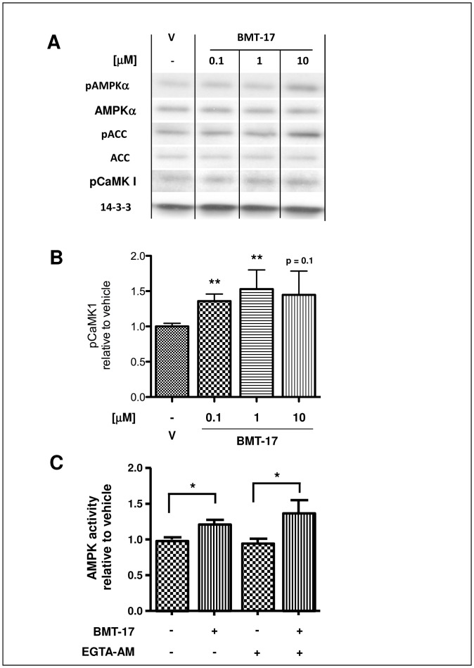 BMTs activate AMPK through CaMKK and not through intracellular Ca 2+ changes. Serum-starved L6 myotubes were treated with either vehicle (V) alone, BMT-17 at 0.1 µM, 1 µM or 10 µM for 30 min before lysis; 10 µg of lysate was then analysed by Western blot ( A ) and quantified by densitometry ( B ). A representative blot is shown. Serum-starved L6 myotubes were pre-treated with either 150 µM EGTA-AM (+) or diluent (-) for 15 min before then being treated with 10 µM BMT-17 or vehicle for a further 30 min before lysis. AMPK was then isolated from 50 µg lysate by pan-AMPKβ immunoprecipitation and assessed by AMPK in vitro kinase assay ( C ). Data are means relative to untreated vehicle control (V) ± SEM from 5 independent experiments. *p