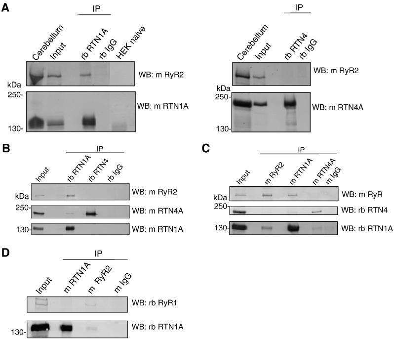 RTN1A associates preferentially with RyR2 channel in vivo . (A) Left panels , detergent-solubilized protein from HEK293 cells transiently transfected with untagged RyR2 plus RTN1A-myc was immunoprecipitated (IP) with rabbit polyclonal anti-RTN1A antibodies or control rabbit IgG. Immunoprecipitated proteins were detected on immunoblots with monoclonal anti-RyR2 or anti-RTN1A antibodies. Note that native HEK293 cells do not express endogenous levels of RTN1A or RyR2. Right panels , detergent-solubilized protein from HEK293 cells transiently transfected with untagged RyR2 plus RTN4A-myc was immunoprecipitated with rabbit polyclonal anti-RTN4 antibodies or control rabbit IgG. Immunoprecipitated proteins were detected on immunoblots with monoclonal anti-RyR2 or anti-RTN4A antibodies. Input lane shows one-eighth of the amount used for immunoprecipitation. WB, Western blot. (B) Detergent-solubilized protein from rat cerebellum was used for co-immunoprecipitations with rabbit anti-RTN1A, rabbit anti-RTN1A, or control rabbit IgG. Immunoprecipitated proteins were resolved by SDS-PAGE blotted on PVDF membranes and probed with monoclonal antibodies as indicated at the right. Input lane shows one-tenth of the amount used for immunoprecipitation. WB, Western blot. (C) Detergent-solubilized protein from rat cerebellum was used for co-immunoprecipitations with mouse anti-RyR2, mouse anti-RTN1A, mouse anti-RTN1A, or control mouse IgG. Immunoprecipitated proteins were resolved by SDS-PAGE, blotted on PVDF membranes and probed with antibodies as indicated at the right. Input lane shows one-tenth of the amount used for immunoprecipitation. WB, Western blot. (D) Detergent-solubilized protein from rat cerebellum was immunoprecipitated with mouse anti-RTN1A, mouse anti-RyR2, or control mouse IgG. Immunoprecipitated proteins were resolved by SDS-PAGE, blotted on PVDF membranes and probed with antibodies as indicated at the right. Note that RyR1 co-immunoprecipitates with mouse anti-RyR2, but not with mouse anti-RTN1A antibodies. Input lane shows one-fifth of the amount used for immunoprecipitation. WB, Western blot.