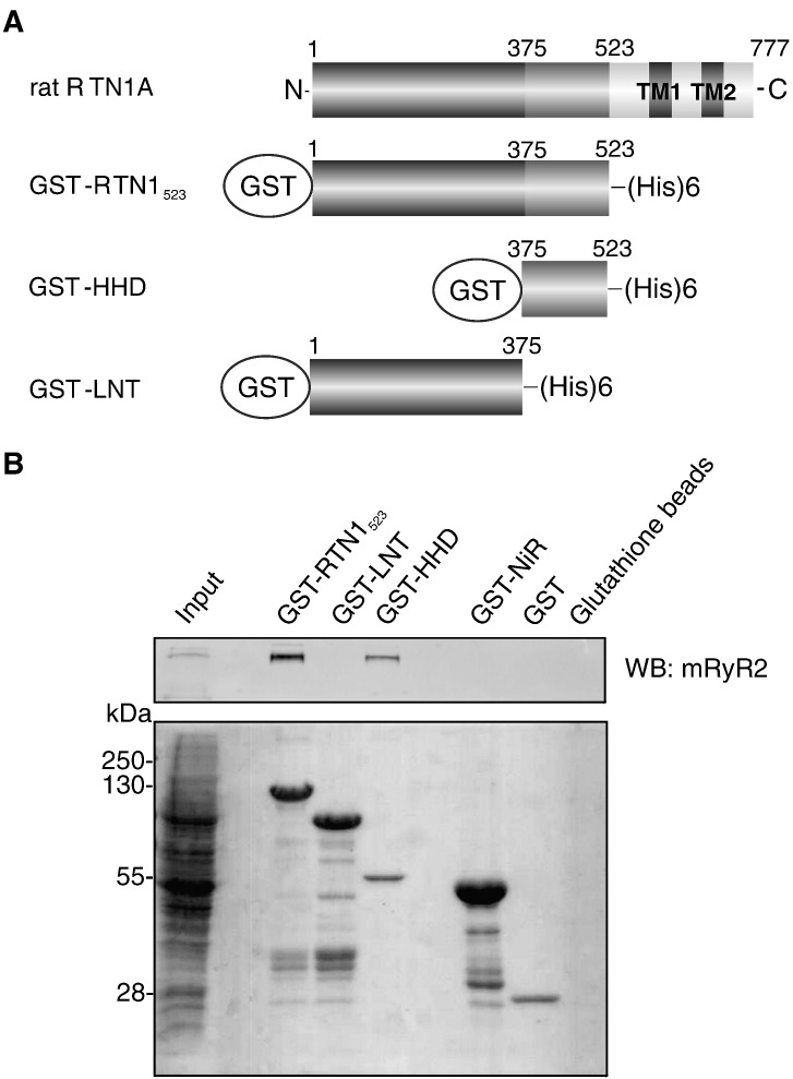 Identification of the RyR2 binding domain. (A) Schematic representation of rat RTN1A protein and RTN1A fragments used to construct GST fusion proteins for the pull-down experiments. HHD: high homology domain; LNT: long N-terminal fragment. (B) GST-RTN1 fragments were used as baits in pull-down experiments using detergent-solubilized mouse brain proteins. GST, GST-NiR or empty glutathione beads served as negative controls. Binding of RyR2 was subsequently detected by immunoblot ( upper panel ). Ponceau S staining of the pull-downs shows the relative amounts of each GST fusion protein ( lower panel ). Input lane shows one-tenth of the amount used for immunoprecipitation. WB, Western blot. Results are representative of three independent experiments.