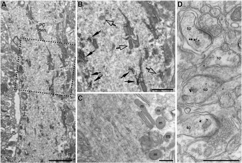 Subcellular distribution of RTN1A in Purkinje cells. (A) Electron micrograph of a Purkinje cell dendrite immunolabeled for RTN1A (MON162 antibody) using the HRP-DAB technique. (B) Higher magnification of the area boxed in A. The electron opaque peroxidase end product can be seen around cisternal organelles and vesicles of the smooth endoplasmic reticulum (indicated by filled arrows), but not the plasma membrane of the Purkinje cell. Empty arrows indicate unlabeled organelles. (C) Electron micrograph of a Purkinje cell dendrite immunolabeled for RTN1A (MON162 antibody) using the silver-enhanced nanogold technique. Immunometal particles can be seen decorating the membrane of cisternal organelles and vesicles of the smooth endoplasmic reticulum but not the mitochondria (m). (D) Immunometal particles for RTN1A can be observed associated with the smooth endoplasmic reticulum within Purkinje cell spines (sp). Scale bars: A, 2 μm; B, 1 μm; C–D, 500 nm.