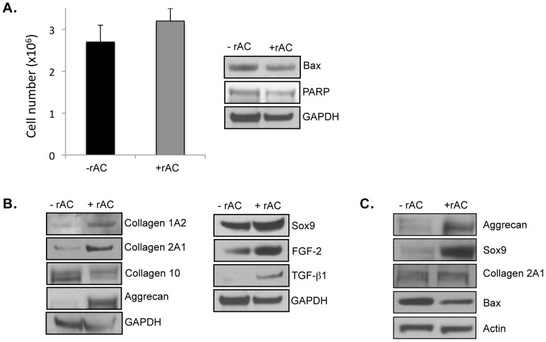 Rat articular chondrocytes were obtained from femurs and grown for 3 weeks in monolayer cultures using standard culture medium with or without recombinant human AC (rAC 200 U/ml). rAC was added once at the initiation of the cultures. At the end of the 3-week expansion period, the cells were harvested and analyzed. A) Total cell counts (left) revealed no differences in the presence of rAC. Western blotting for two apoptosis markers (Bax and PARP) similarly revealed no differences. B) The expanded chondrocytes were analyzed by western blots for several important chondrogenic markers, including collagens 1A2 and 2A1, aggrecan, Sox9, FGF2, and TGF-beta1. Note that in all cases these chondrocyte markers were elevated in the cells treated with rAC. In contrast to collagens 2A1 and 1A2, collagen 10 expression, a marker of hypertrophy, was lowered by rAC treatment. C) Horse articular chondrocytes were obtained surgically from femoral heads and frozen. The frozen cells were then recovered and grown in monolayer cultures for 3 weeks without rAC. At 3 weeks the cells were passaged and re-plated at a density of 1×10 6 /cm 2 , and then grown for an additional 1 week with or without rAC. At the end of this 1-week growth period the cells were analyzed by western blots, revealing that the expression of two chondrogenic markers, aggrecan and Sox9, were highly elevated in the rAC-treated horse cells. Bax expression also was reduced in the rAC cells, suggesting a reduction in apoptosis by rAC treatment. All experiments have been repeated at least 3×. Images are representative from individual experiments.