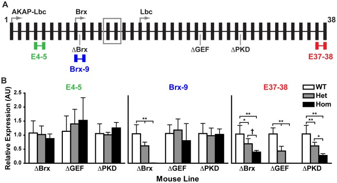 Full-length AKAP13 mRNA levels are reduced by the gene-trap events. (A) TaqMan gene expression assays were used to measure the expression of AKAP13 transcripts at the indicated exon-exon junctions (E4-5, Brx-9, E37-38). (B) Quantitative <t>PCR</t> analysis of wild-type (WT), heterozygote (Het) and homozygote (Hom) neonatal mouse heart and lung RNA for AKAP13 showed that none of the gene-trap mutations affected expression of the E4-5 exon-exon junction. The ΔBrx gene-trap dose dependently decreased expression of the Brx-9 exon-exon junction. Expression of the Brx-9 junction was eliminated in the AKAP13 ΔBrx/ΔBrx mice. All <t>three</t> gene-traps decreased expression of the E37-38 exon-exon junction in a dose-dependent manner. Expression of the E37-38 junction was eliminated in the AKAP13 ΔGEF/ΔGEF mice. The means and standard deviations are graphed for six mice per genotype. One-way ANOVA and Bonferroni's multiple comparison tests were conducted (Prism 5; GraphPad). †, p