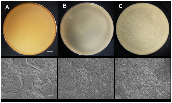 Macroscopic (top row) and microscopic (bottom row) images of biofilms (pellicles) grown for 24 h at 37°C in petri dishes in three different media. (A) SYM, (B) Czapek and (C) MSgg. Scale bar represents 10 mm (top row) and 10 µm (bottom row).