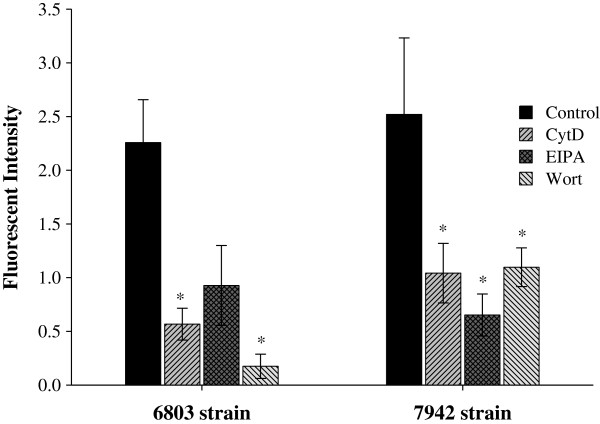 The mechanism of the CPP - mediated GFP delivery in 6803 and 7942 strains of cyanobacteria. Cells were treated with NEM and R9/GFP mixtures in the absence or presence of CytD, EIPA, or wortmannin (Wort), as indicated. Results were observed in the GFP channel using a confocal microscope, and fluorescent intensities were analyzed by the UN-SCAN-IT software. Data are presented as mean ± SD from three independent experiments. Significant differences of P