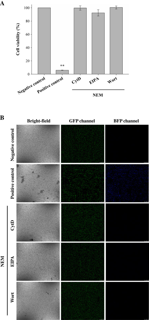 Cell viability of the R9 / GFP delivery system in the presence of uptake modulators. ( A ) The MTT assay. The 6803 strain of cyanobacteria was treated with BG-11 medium as a negative control, or treated with 100% methanol as a positive control. In the presence of NEM, cells were treated with R9/GFP complexes in the presence of CytD, EIPA, or wortmannin (Wort), respectively, and analyzed by the MTT assay. Significant differences were determined at P
