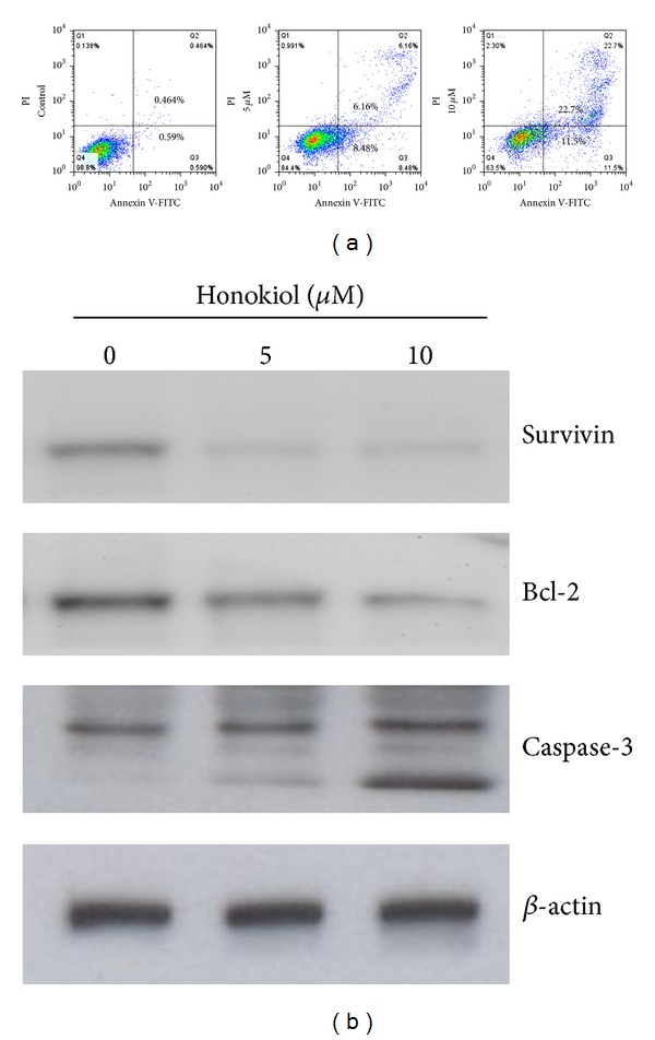Honokiol-induced apoptosis of SAS SP cells. (a) Annexin V-PI staining of SP cells after treatment with honokiol for 48 h. Q1: quadrant (annexin V−, PI+) represents dead cells; Q2: quadrant (annexin V+, PI+) represents late apoptotic cells; Q3: quadrant (annexin V+, PI–) represents early apoptotic cells; Q4: quadrant (annexin V−, PI−) represents live cells. The percentage of cell population in each quadrant is calculated and shown in histograms and a dose-dependent increase of honokiol-induced apoptosis was displayed. (b) Decrease of Survivin and Bcl-2 protein levels and increase of caspase-3 cleavage in honokiol-treated SP cells. Cells were treated with honokiol for 48 h and the lysates were analyzed by Western blot using β -actin as loading control.