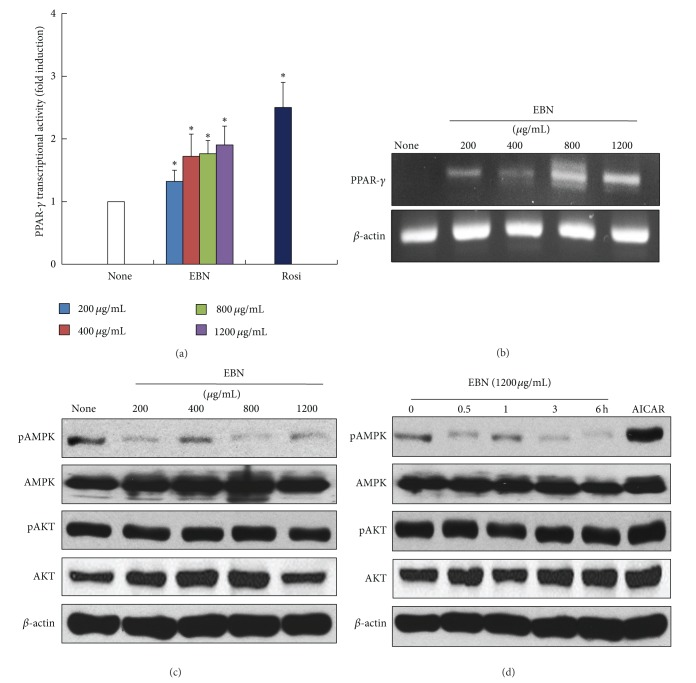 The effect of EBN on transcriptional activity and expression of peroxisome proliferator-activated receptor gamma. HEK293 cells were transiently transfected with luciferase construct containing peroxisome proliferator-activated receptor gamma <t>(PPAR-</t> γ ), retinoid X receptor (RXR α ), PPAR-response element (PPRE), and β -galactosidase. Then, the cells were treated with ethanol extract of Boehmeria nivea (EBN) (200, 400, 800, and 1200 μ g/mL) for 24 h. Luciferase assay was performed, and the activity was normalized with that of β -galactosidase activity (a). The differentiated C2C12 cells were exposed to EBN in a dose-dependent manner for 6 h. The mRNA level of PPAR- γ and <t>GAPDH</t> was measured by reverse transcriptase-polymerase chain reaction (RT-PCR) (b). Differentiated C2C12 cells were treated withEBN in a dose- and time-dependent manner. AMP-activated protein kinase (AMPK) and Akt expressions were determined by western blot analysis ((c), (d)). 1 mM AICAR was used as positive control for AMPK activation. Data are expressed as mean ± standard deviation (SD); n = 3. Statistical significance: * P