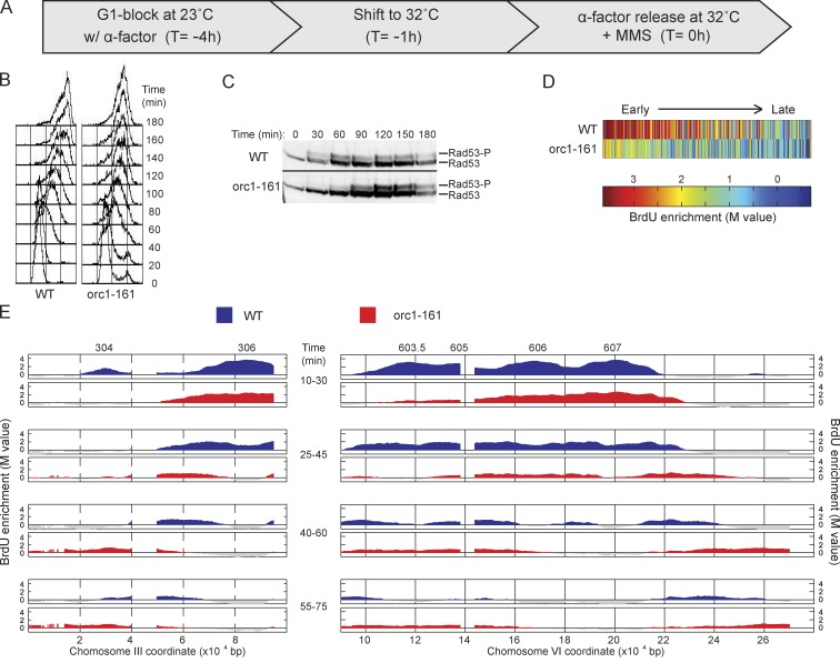 Orc1 function regulates replication fork progression. (A) WT and orc1-161 cells were synchronized with α-factor for 3 h at 23°C, shifted to 32°C for 1 h, and released from α-factor at 32°C with 0.033% MMS. (B) DNA content analysis by FACScan. (C) Immunoblot analysis of phosphorylated Rad53 (Rad53-P); both rows are from the same blot and exposure. Molecular weight markers were not run on this gel; for the migration of size markers relative to the bands detected by this antibody, see Fig. 2 F . Black line indicates that intervening lanes have been spliced out. (D) Heat maps of BrdU incorporation levels at origins are arranged according to each origin's published replication timing from early to late (left to right). (E) Aliquots were pulsed with BrdU for the indicated intervals and analyzed by BrdU-IP-chip. Results for segments of chromosomes III and VI are plotted, with origin locations indicated above. Data shown are from a single representative experiment out of two replicates, except data in D, and were calculated from both replicates.