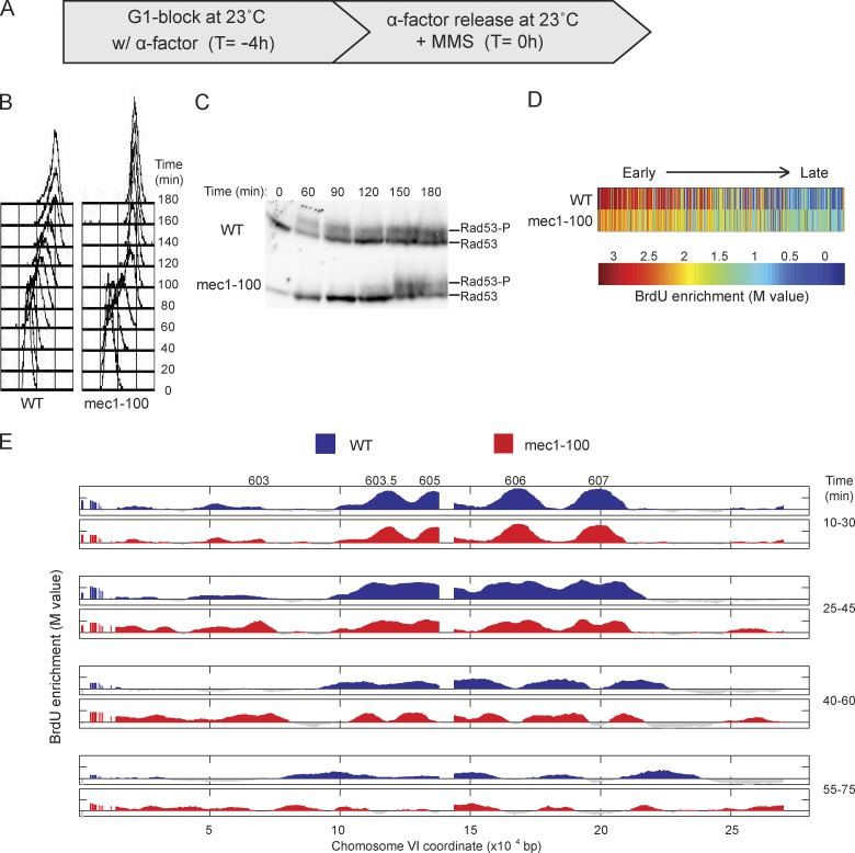 Deregulated origin firing in mec1-100 slows replication forks. (A) WT and mec1-100 cells were synchronized with α-factor for 4 h at 23°C and released from α-factor at 23°C with 0.033% MMS. (B) DNA content analysis by FACScan. (C) Immunoblot analysis of phosphorylated Rad53 (Rad53-P); both rows are from the same blot and exposure. Molecular weight markers were not run on this gel; for the migration of size markers relative to the bands detected by this antibody, see Fig. 2 F . (D) Heat maps of BrdU incorporation levels at origins are arranged according to each origin's published replication timing from early to late (left to right). (E) Aliquots were pulsed with BrdU for the indicated intervals and analyzed by BrdU-IP-chip. Results for entire chromosome VI are plotted, with origin locations indicated above. Data shown are from a single representative experiment out of two replicates, except data in D, and were calculated from both replicates.