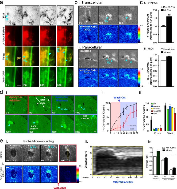 VL are enriched in and functionally dependent on NADPH oxidase activity. (a) MVECs coexpressing <t>p47phox-DsRed</t> and actin-GFP were imaged live during T cell diapedesis. p47phox was enriched in ventral (IRM) actin-rich initiation nodes (N) and in VL leading edge (arrowheads). See Video 10 . (b) Representative ratiometric images of H 2 O 2 production in (i) pore- and (ii) gap-closing VL in MVECs expressing the biosensor mHyPer during T cell diapedesis. (c) Quantification of p47phox (i) and H 2 O 2 (ii) enrichment in VL. n > 13. (d, i) Representative NADPH oxidase inhibition/washout imaging experiment. After multiple T cell diapedesis events on MVECs expressing mYFP, apocynin was added. Arrows indicate multiple pores and gaps that persisted for 15 min, but were rapidly healed by steered VL (arrowheads) after drug washout. See Video 10. Experiments as in d (i) were performed with VAS-2870, DPI, <t>PEG-catalase,</t> and DMSO (control) and quantified by cumulative wound closure analysis, shown as a continuous line plot (ii) and bar graph of single pre/post-washout time points (iii). n > 5. (e) MVECs coexpressing mDsRed and mHyPer were imaged during probe wounds and after addition of VAS-2870. Representative mDsRed images (i), kymograph (ii), mHyper ratiometic images (iii), and quantitation (iv) are shown. n = 3. Values represent mean ± SEM. Statistical significance is indicated with p-values as follows: ***, P