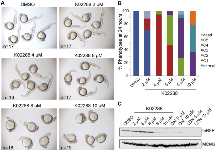 K02288 induces dorsalization of zebrafish embryos. (A) Brightfield photographs of 26 hours old Tg(BRE:mRFP) transgenic embryos treated with DMSO or varying doses of K02288 from the 8- to 16-cell stage. Severity of the dorsalization correlated with the dose of K02288. Very strong dorsalized phenotypes were observed with 8–10 µM K02288. (B) The phenotypes of the embryos shown in A were classified according to Kishimoto et al. [49] . (C) Western blot for mRFP in extracts prepared from Tg(BRE:mRFP) embryos treated in a parallel experiment. Loss of mRFP protein was evident at 8–10 µM K02288. As a control, the effects of dorsomorphin (DM) and LDN-193189 (LDN) on mRFP expression are also shown. Protein loading control is shown with the MCM6 blot.