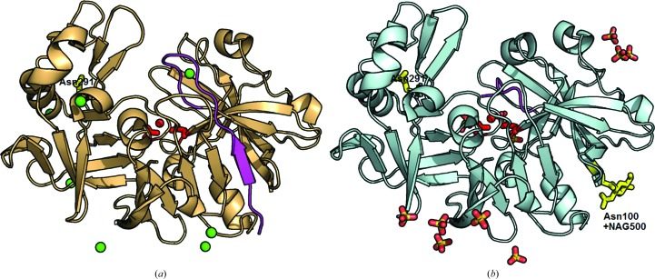 Structures of bovine chymosin ( a ) and camel chymosin variant 2 ( b ). The active-site residues and activated water molecule are shown in red and the N-terminal residues up to and including Tyr16 are shown in magenta. The experimentally verified glycosylation sites and N -acetylglucosamine are shown in yellow and the chloride ions are shown as green spheres; stick models are used for sulfate ions and glycerol.