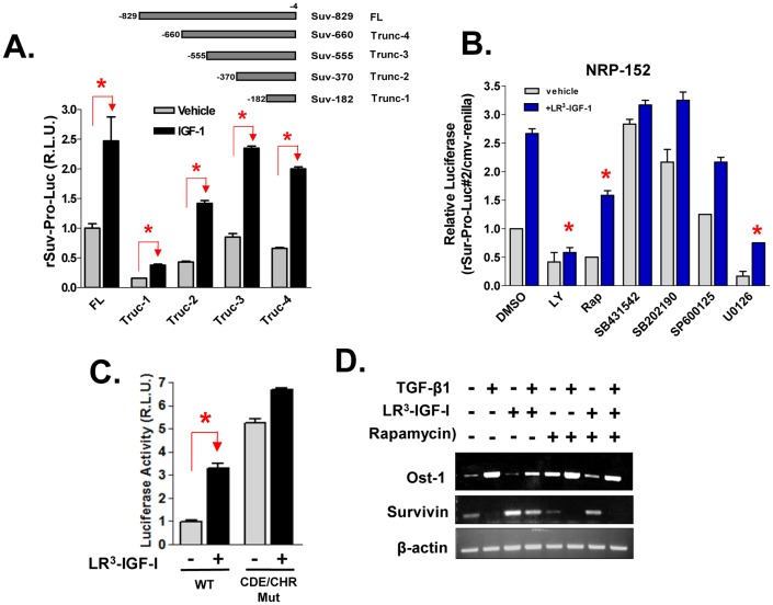 Transcriptional regulation by IGF-I of Survivin. (A) NRP-152 cells were co-transfected with full length (FL) or truncations (Trunc-1 to -4) of rat Survivin promoter-Firefly luciferase reporter constructs, along with CMV-Renilla control reporter one day before a 24 h treatment with LR 3 -IGF-I or vehicle, and cells were then analyzed for dual luciferase reporter activity. (B) NRP-152 cells were co-transfected with Trunc-2 Survivin promoter-luciferase construct (rSur-pro-Luc#2) and CMV-Renilla as in A, and next day cells were treated with various kinase inhibitors (LY: 10 µM LY294004; Rap: 200 pM rapamycin; 10 µM of either SB431542, SB202190, SP600125 or U0126) or DMSO vehicle for 2 h before 24 h treatment with 2 nM LR 3 -IGF-I or vehicle. (C) NRP-152 cells were co-transfected with rSur-pro-Luc#2 (WT) or rSur-pro-Luc#2 mutated at CDE and CHR (CDE/CHR Mut) along with CMV-Renilla, next day cells were treated with 2 nM LR 3 -IGF-I or vehicle, and harvested for dual luciferase activity. Data shown are relative values of Firefly luciferase normalized to Renilla luciferase, and expressed as relative luciferase units (R.L.U.). Each bar represents the average of triplicate determinations ± S.E. Statistical significance (*p