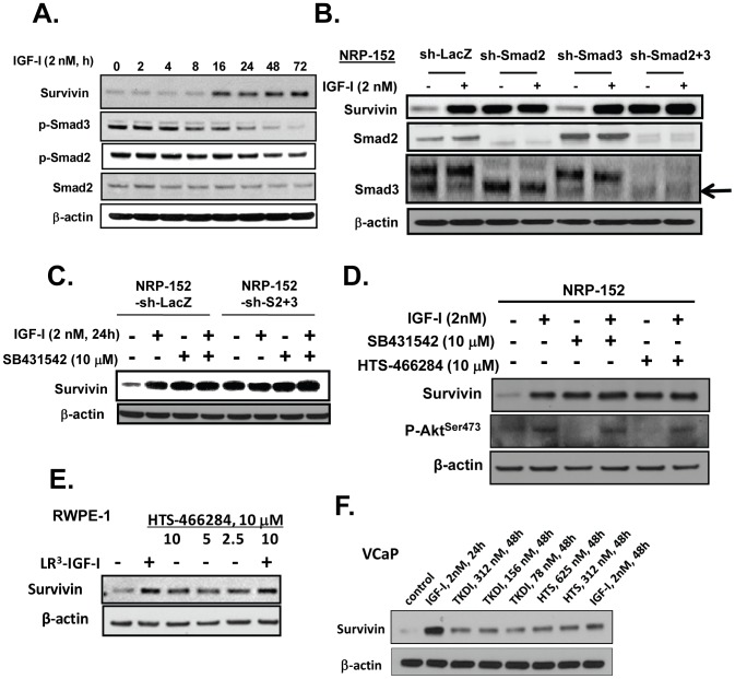 IGF-I induces Survivin through a Smad dependent mechanism. (A) NRP-152 cells plated overnight in GM3 were treated at various times with LR 3 -IGF-I for up to 72 h, and cell lysates were analyzed for Western blot expression of Survivin, and P-Smads 2 and 3. (B) NRP-152 cells stably expressing sh-Smads 2, 3, and 2+3 or lentiviral sh-LacZ (control) were treated with 2 nM LR 3 -IGF-I or vehicle for 24 h prior to Western blot analysis for Survivin and Smads 2 and 3. (C) NRP-152 cells stably expressing sh-Smads 2+3 or lentiviral sh-LacZ (control) were treated with DMSO vehicle or 10 µM SB431542 for 2 h prior to treatment with 2 nM LR 3 -IGF-I or vehicle for 24 h, and changes in Survivin expression was assessed by Western blot analysis. (D) NRP-152 cells were treated with either 10 µM HTS466284 or 10 µM SB43152 for 2 h prior to treatment with 2 nM LR 3 -IGF-I or vehicle for 24 h, and changes in Survivin expression were assessed by Western blot analysis. (E,F) RWPE-1 and VCaP cells plated in GM3 were treated with LR 3 -IGF-I and the TGF-β receptor kinase inhibitors HTS466284 (HTS) or TKDI for 24 h prior to lysing cells for Western blot analysis of Survivin expression. Results are representative of two to three separate experiments.