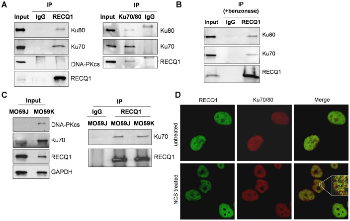 RECQ1 interacts with Ku70/80 in vivo . A . Co-immunoprecipitation analysis of RECQ1 interaction with Ku70/80 using HeLa nuclear extracts. Immunoprecipitations (IP) with antibodies specific for RECQ1, Ku70/80 and preimmune IgG are indicated. Eluted proteins in immunoprecipitate were analyzed by Western blotting and are indicated. RECQ1 IP contained Ku70 and Ku80 subunits but DNA-PKcs was not detected. Reciprocal co-IPs of Ku70/80 also contained RECQ1. B. Association of RECQ1 and Ku70/80 is not mediated via DNA. RECQ1 antibody co-precipitated RECQ1 and Ku70/80 using benzonase-treated extract in IP reaction. C. RECQ1 interacts with Ku in DNA-PKcs deficient and proficient cells. Lysates of MO59J (DNA-PKcs deficient) or MO59K (DNA-PKcs proficient) cells were used for IP using RECQ1 antibody or IgG and analyzed by Western blotting as indicated. D . Immunofluorescence staining of endogenous RECQ1 and Ku70/80. HeLa cells grown on coverslips were either mock-treated or treated with NCS (100 ng/ml, 3 h). Cells were fixed and immunostained using a mouse monoclonal Ku70/80 antibody (1∶200) and a rabbit polyclonal RECQ1 antibody (1∶500). RECQ1 and Ku70/80 were visualized with Alexa Fluor 488- or Alexa Fluor 568-conjugated secondary antibodies, respectively, followed by confocal microscopy. Inset shows enlarged portion of the nucleus after NCS treatment; colocalization of RECQ1 (green) and Ku70/80 (red) in cells appears yellow in merged images. In all experiments, input corresponds to 5% of total protein used in IP reactions.