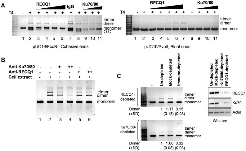 RECQ1 modulates DNA end-joining. A.  RECQ1 affects DNA end-joining by T4 ligase. Comparison of ligation products of 5′-cohesive (left panel) or blunt (right panel) ended linear DNA after incubation with T4 ligase alone, or after pre-incubation with the increasing amount of RECQ1 (0–260 ng) or Ku70/80 (0–400 ng) as described in materials and methods. IgG (1µg) was included as unrelated protein in a control reaction. Linear substrate DNA is indicated as monomer, and the end-joined products corresponding to dimer and trimer are indicated. O.C., open circular. DNA size marker is shown in leftmost lane.  B.  RECQ1 antibody interferes with cell free extract mediated end-joining  in vitro . The effect of antibodies against human RECQ1 (1.5 and 3 µg) or Ku70/80 (1 and 2 µg) was tested in DNA end-joining reactions assembled with 5 µg HeLa cell free extract. Antibodies at the indicated amounts were incubated with cell free extract for 10 min at room temperature in NHEJ buffer without DNA and ATP. Subsequently, EcoRI-linearized pUC19 DNA and ATP were added to start the reaction followed by 2 h incubation at room temperature. Reaction products were purified and analyzed by SYBR Gold staining after resolution on agarose gel. Linear substrate DNA is indicated as monomer, and the end-joined products corresponding to dimer and trimer are indicated.  C.  Immunodepletion of RECQ1 or Ku70/80 from cell extracts results in similarly reduced end-joining. DNA end joining reactions were performed using HeLa extract depleted either with anti-RECQ1 polyclonal antibody (upper panel) or with the anti-Ku70/80 monoclonal antibody (lower panel) as described. Mock-depleted extracts used preimmune rabbit or mouse IgG as control for RECQ1 or Ku70/80 depletion, respectively. Linear substrate DNA is indicated as monomer, and the end-joined products corresponding to dimer and trimer are indicated. Inverted image of a typical gel is shown. ImageJ was used to quantitate dimer product in each case, and the average from at least three independent experiments are indicated including SD. Western blot of control un-depleted, mock-depleted and RECQ1 or Ku70/80 depleted extracts used in the end-joining reaction is shown along with a loading control (actin) (right).