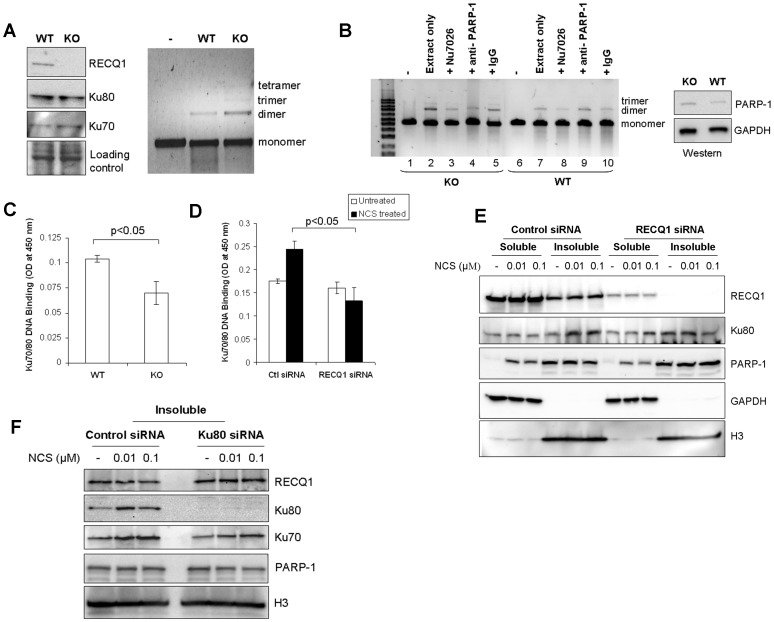 RECQ1-null cells promote end-joining but show reduced Ku-DNA binding activity. A. Level of in vitro end-joining activity is comparable in WT and RECQ1 KO MEFs. Cell free extracts prepared from non-transformed RECQ1 WT or KO MEFs were used in end-joining reaction containing EcoRI-linearized pUC19 DNA as substrate. Linear substrate DNA is indicated as monomer, and the end-joined products corresponding to dimer, trimer and tetramer are indicated (right panel). Western blot showed no detectable difference in Ku protein level in WT and KO cell extracts (left panel). GAPDH serves as loading control. B. Presence of PARP-1 antibody interferes with RECQ1 KO cell free extract mediated end-joining. In addition to standard reactions, in vitro end-joining reactions were performed with WT or KO cell extracts in the presence of a DNA-PKcs inhibitor Nu7026 (1.2 µM) or a specific anti-PARP-1 antibody (3 µg). IgG (3 µg) was included as unrelated antibody in a control reaction. Linear substrate DNA is indicated as monomer, and the end-joined products corresponding to dimer and trimer are indicated. Western blot showed no detectable difference in PARP-1 protein level in WT and KO cell extracts (left panel). GAPDH serves as loading control. C. Ku70/80 DNA binding assay performed by using Active Motif kit shows diminished DNA binding in RECQ1 KO extract as compared to WT extract (p