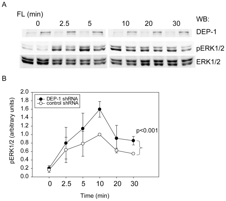 DEP-1 regulates FL-stimulated FLT3 signaling. DEP-1 expression was stably downregulated in THP-1 cells by lentiviral transduction of shRNA. Control cells harbor a non-targeting shRNA construct. ( A ) FL-dependent ERK1/2 activation was assessed by immunoblotting of cell lysate samples with antibodies recognizing activated ERK1/2 <t>(pERK1/2).</t> Loading was analyzed by reblot with ERK1/2 antibodies. Representative experiment; the efficiency of stable DEP-1 knockdown is also shown (upper panel). ( B ) Quantitative data for 4 independent experiments. Numbers represent pERK1/2 signals normalized to ERK1/2 levels in the same sample. The value of control cells at 10 min was set to 1.0. Significance for the difference between responses of the two different cell pools was determined by two-way ANOVA.