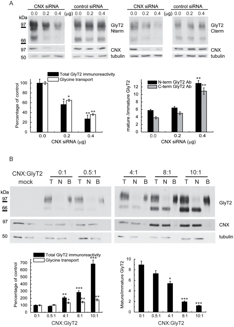 Expression of GlyT2 following <t>CNX</t> knockdown/overexpression. (A) COS7 cells were co-transfected with 0.5 µg of GlyT2 <t>cDNA</t> in pCDNA3 and the indicated amount of control (HPRT) or CNX siRNA. At 48 h post-transfection, the cells were analyzed in Western blots (upper panel) or assayed for glycine transport (open bars, left graph). The specific CNX d-siRNA reduced CNX protein levels by 62% (0.2 µg) and 85% (0.4 µg), respectively, as compared with endogenous levels. Control d-siRNA increased total GlyT2 levels by 10% and 15%, respectively. Right graph: ratio of mature (100 kDa) to immature (75 kDa) band at the different amounts of CNX siRNA transfected. The bands were detected with GlyT2 antibodies against N- or C-terminal epitopes ( Fig. S1 ). (B) COS7 cells were co-transfected with 0.5 µg of GlyT2 cDNA together with a CNX cDNA at the indicated mass ratio (CNX:GlyT2). At 48 h post-transfection the cells were biotinylated (T = total transporter; N = non-biotinylated transporter; B = biotinylated transporter, 3-fold the protein amount in T or N) or glycine transport was assayed (open bars, left histogram). Solid bars in the left histogram represent total GlyT2 normalized to tubulin immunoreactivity. Verification of CNX overexpression by densitometry revealed the following increases at increasing mass ratios: 0∶1, 1-fold (endogenous CNX); 0.5∶1, 1.8-fold; 4∶1, 2.4-fold; 8∶1, 9.3-fold; 10∶1, 12.9-fold. Right graph: the ratio of the mature (100 kDa) to immature (75 kDa) protein decreased with the amount of CNX expressed. Bars represent the S.E.M (n = 6). *p