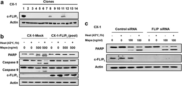c-FLIP L was responsible for the synergistic effect of Mapa and hyperthermia. ( a ) CX-1 cells were transfected with pCR3.V64-Met-Flag-FLIPL and stable clones were selected with G418 (500 μ g/ml). ( b ) Control plasmid or pCR3.V64-Met-Flag-FLIPL stably transfected cells from a pool of clone 1#, 8# and 11# were heated at 42 °C for 1 h in the presence or absence of 500 ng/ml Mapa, and then incubated at 37 °C for 3 h. The level of c-FLIP L and the cleavage of caspase 8, caspase 9 and PARP were detected by immunoblotting. Actin was used as loading control. ( c ) CX-1 cells were transfected with nonsense sequence (control) or FLIP siRNA-targeting FLIP mRNA. After 48 h, cells were heated at 42 °C for 1 h in the presence or absence of 100 ng/ml Mapa, and then incubated for 3 h. The levels of c-FLIP L and PARP were detected by immunoblotting. Actin was used as a loading control