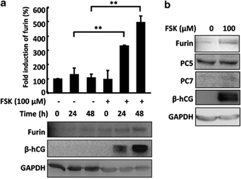 Increase of furin expression during <t>FSK-induced</t> syncytialization of choriocarcinoma <t>BeWo</t> cells. ( a ) BeWo cells were incubated in the medium with or without 100 μ M FSK (methanol as a vehicle control, also hereafter) for the indicated time before being subjected to protein extraction and western blotting with the indicated antibodies. Shown at the bottom are representative western blotting images. Three independent experiments were quantified by measuring the intensities of furin protein bands relative to glyceraldehyde 3-phosphate dehydrogenase (GAPDH) controls (top) (** P