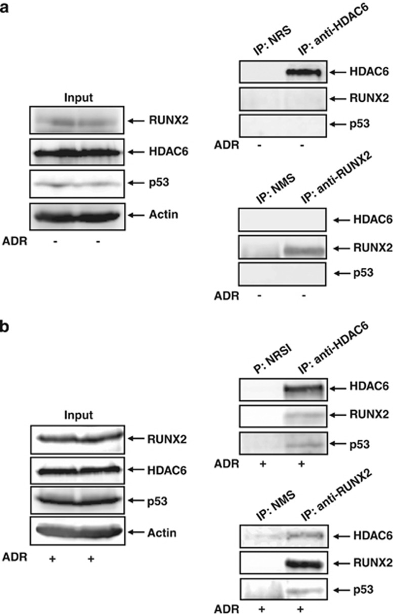 Interaction among p53, RUNX2 and HDAC6. Co-immunoprecipitation. U2OS cells were left untreated ( a ) or treated with 0.5 μ M of ADR ( b ). Twenty-four hours after ADR treatment, cell lysates were prepared and immunoprecipitated with NRS or with polyclonal anti-HDAC6 antibody followed by immunoblotting with the indicated antibodies. Reciprocal immunoprecipitation experiments using NMS or monoclonal anti-RUNX2 and 1/20 of input were also shown