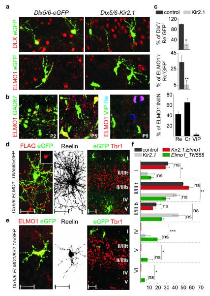 Activity-dependent expression of <t>ELMO1</t> regulates CGE-derived interneuron migration a. Expression of Dlx genes and ELMO1 at P5 in Dlx5/6-eGFP and Dlx5/6-Kir2.1 electroporated interneurons at e15.5. b. Expression of ELMO1 in GAD67-GFP transgenic mice at P2 and P5. Selective expression of ELMO1 in CGE-derived interneuron subtypes at P9. Quantification of ELMO1 expression in Re + , Cr + and VIP + interneurons (IN) at P9 (right). Mean percentage values (±SEM) were obtained from > 70 interneurons for each subtype. c. Quantification of DLX H and ELMO1 expression in Dlx5/6-eGFP (control) and Dlx5/6-Kir2.1 Re + e15.5-electroporated interneurons at P5. Mean percentage values (±SEM) were obtained from > 20 interneurons each in control and Kir2.1 electroporated mice for each quantification. d. Electroporation of Dlx5/6-Elmo1_TN558.FLAG plasmid at e15.5. FLAG immunoreactivity is detected in electroporated interneurons at P9 (inset). Neuronal morphology of a Re + interneuron and laminar distribution of electroporated interneurons at P9. Representative examples from 4 electroporated mice. e. Co-electroporation of Dlx5/6-Elmo1 and Dlx5/6-Kir2.1 plasmids at e15.5. ELMO1 expression in electroporated interneurons at P9. Morphological defects of an electroporated Re + interneuron and laminar distribution of electroporated interneurons. Representative examples from 6 electroporated mice. f. Quantification of the distribution of Re + interneurons across cortical layers at P9 upon expression of different plasmids. Mean percentage values (±SEM) were obtained from > 80 interneurons for each group. Values for control and Dlx5/6-Kir2.1 alone groups are repeated from Figure 2 to facilitate comparison between groups. The large bracket indicates comparison between the control and Dlx5/6-Elmo1_TN558.FLAG electroporated internerneurons. Paired t-test: *, P