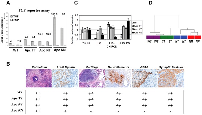 Wnt signaling regulates the differentiation potential of mouse ESCs in a dosage-dependent manner. A. β-catenin/TCF reporter assay in wild type and Apc -mutant ESCs. Measurements are reported as the average luciferase units performed in triplicate for the TOP (filled bars) and FOP (empty bars) reporter constructs (data reported is mean±SD). Numbers in the histogram represent the calculated TOP/FOP ratios. B. Table summarizing the results obtained by teratoma differentiation assay from different Apc -mutant ESCs and their wild type controls. Tissue sections were stained with hematoxylin and eosin (H E) or used in immunohistochemical analysis using specific antibodies against the neural markers: GFAP, neurofilaments and synaptic vesicles. Adult myosin was used as a mesodermal marker to stain the striated muscle differentiation. Cartilage differentiation was assessed either by H E or theonin staining. Two independent clones were used for each genotype and differentiation was scored as: (−) not present, (+) weakly present, and (++) present. C. Histogram showing the percent of colonies formed after plating 500 FACS-sorted cells in N2B27 medium supplemented with different combinations of LIF, Mek inhibitor (PD) and GSK-inhibitor (CHIRON). Bars represent mean ± SD, n = 3. D. Dendrogram derived from unsupervised hierarchical clustering of global gene expression in wild type, Apc TT, Apc NT and Apc NN ES cells. Pearson's correlation coefficient and Ward's method were used after MAS 5.0 normalization of all probe sets.